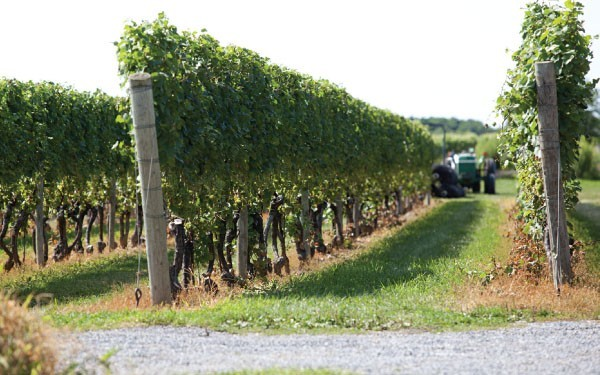 Southold has six vineyards right in town and others not far away. Image: Lynn Spinnato