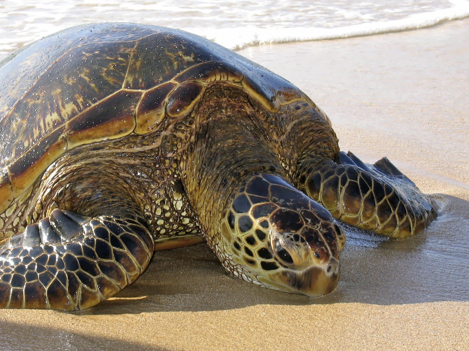 Green Hawaiian Sea Turtle basking on the beach. image: waikiki