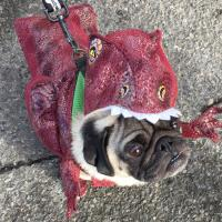 Teddy the pug threw it back to primitive times with this dinosaur costume.