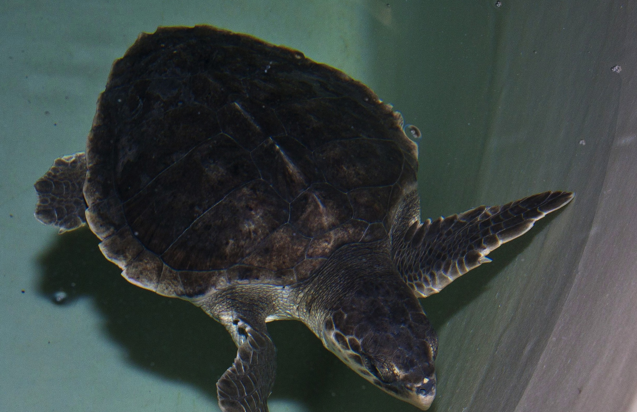 A sea turtle rescued by Long Island Aquarium found on Fire Island in Oct. 2013 credit: Joe Dhlopolsky