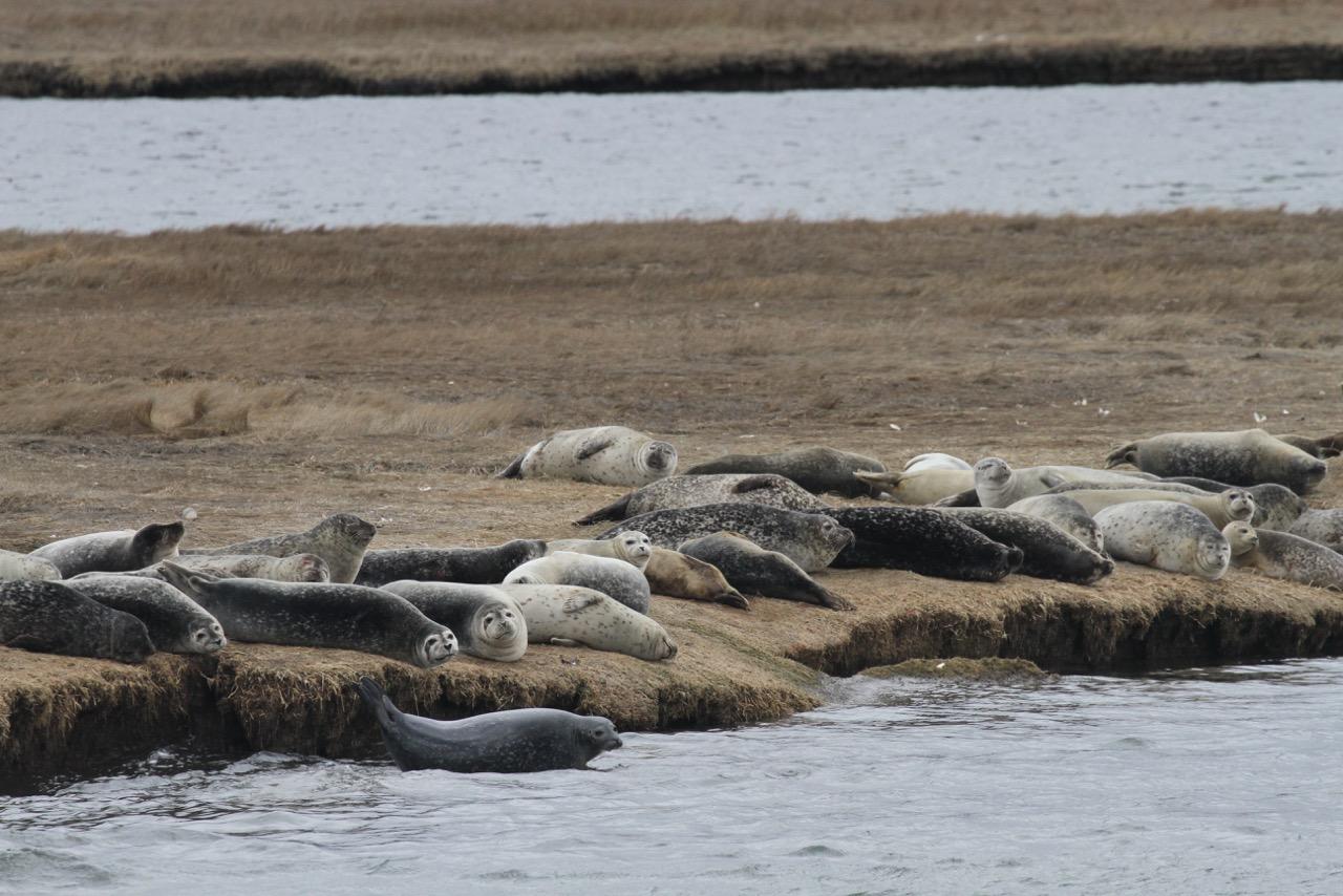 long island seals