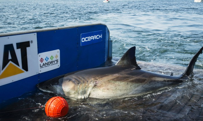 Great White Shark South Shore Long Island Fire Lsland