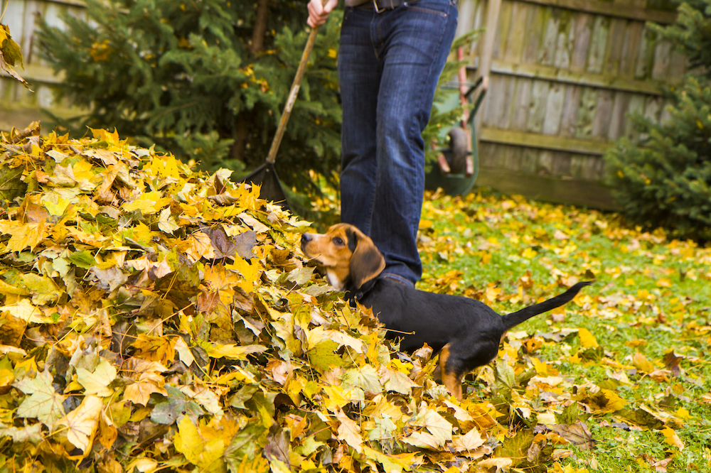 Beagle Pup Playing In the Laves His Owner is Raking