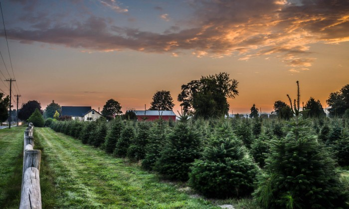 7 of the best long island christmas tree farms