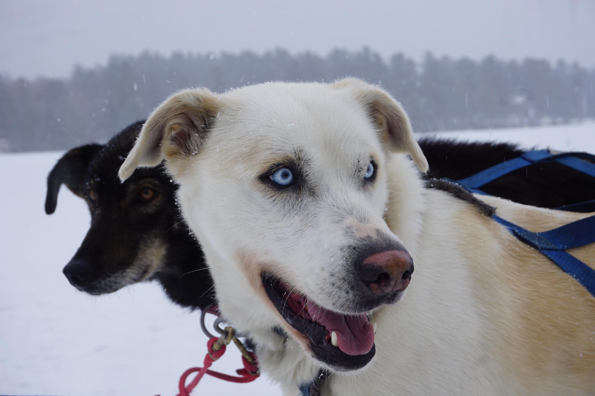Lead Dogs, credit ADEN VERCELLETTO