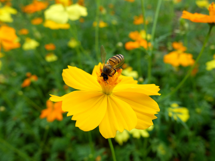 Bee on yellow cosmos flower