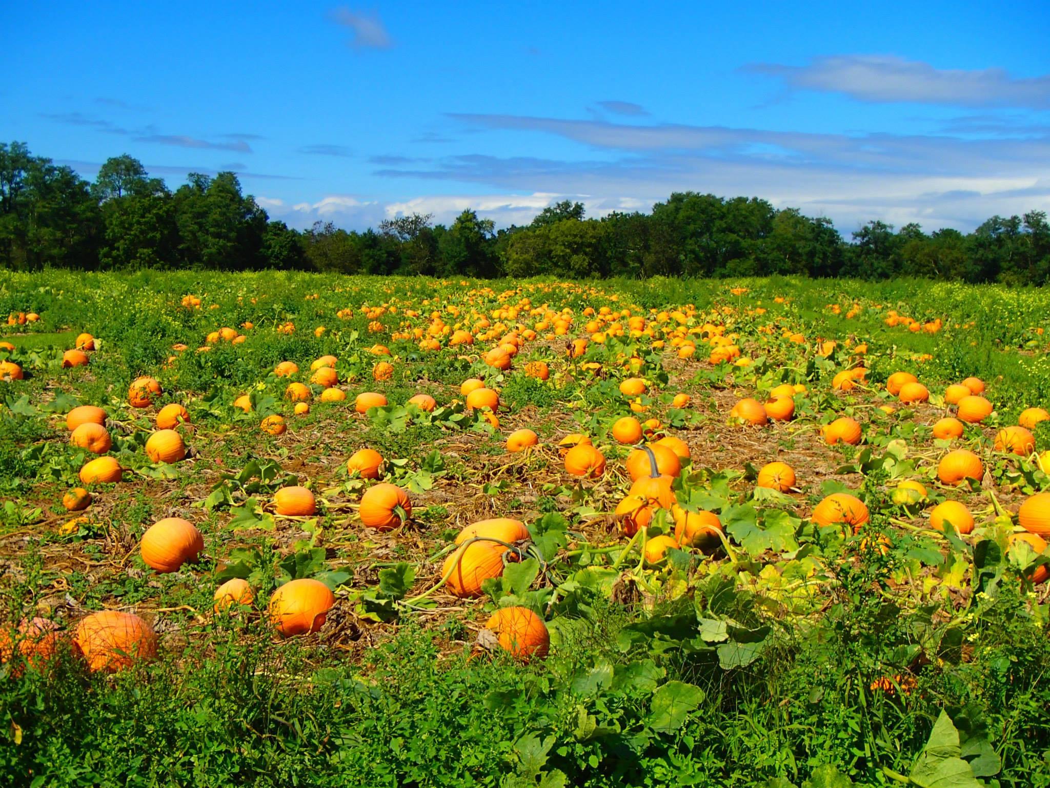 Farm In Long Island For Pumpkin Picking