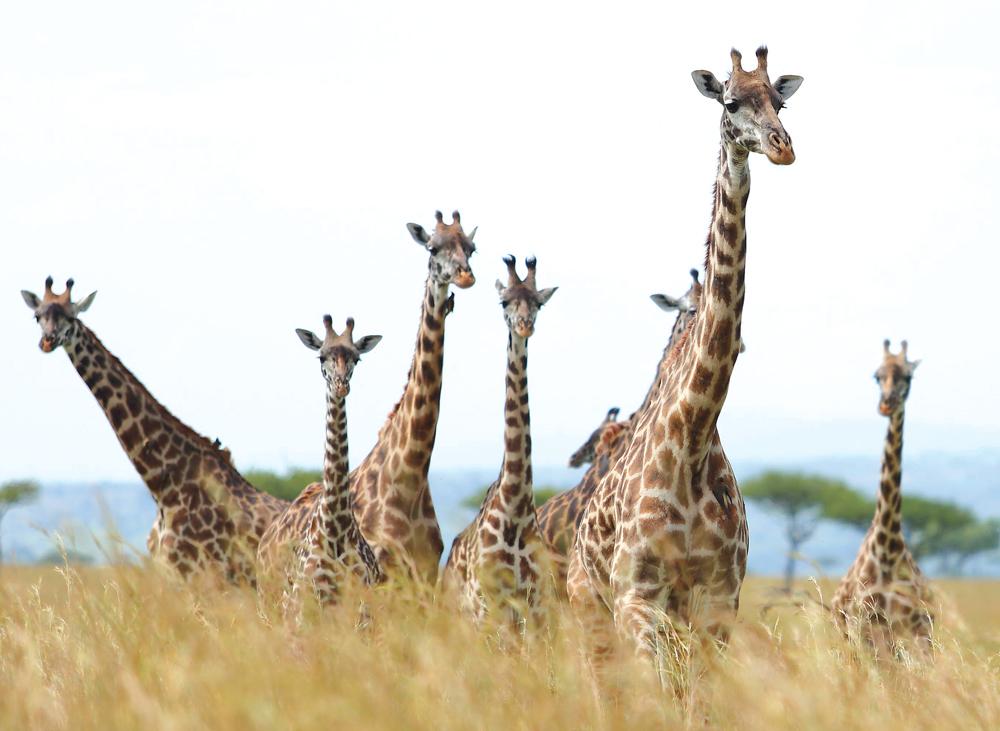 Giraffe_etbv0s